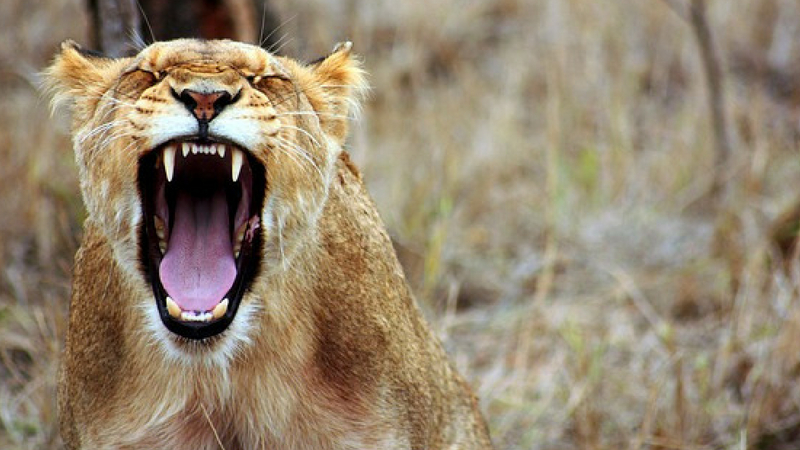 Roaring lion. Visual metaphor for releasing pent up frustrations